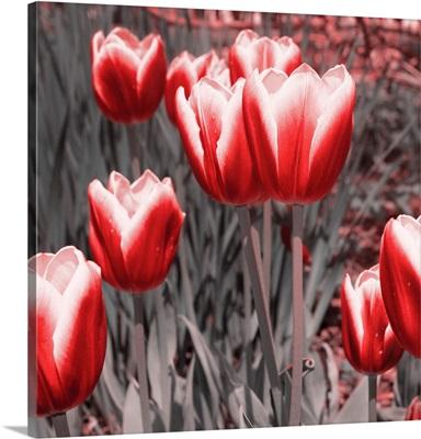 Red Tulips II