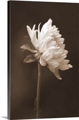 Sepia Flower I