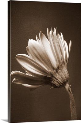 Sepia Flower II