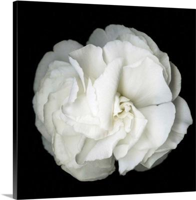 White Flower Blossom- Original Black And White Photograph