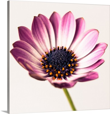 Purple Daisyhead