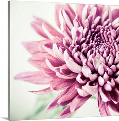 Purple Flowerhead