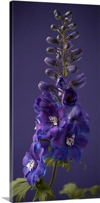 Purple Foxgloves