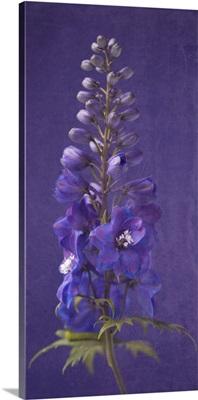 Purple Foxgloves III