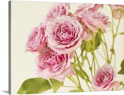 Roses On Cream