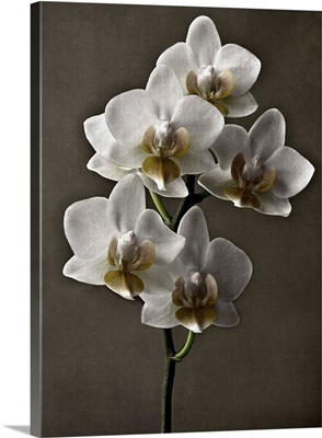 Straight Orchid