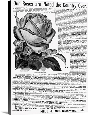 Advertisement For Hill and Co.'s Rose Bushes, 1888