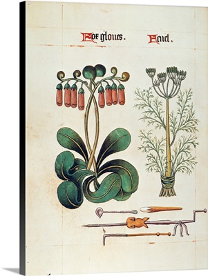 Foxglove And Fennel, c1515
