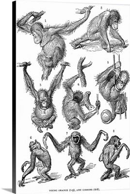 Orangutans and Gibbons