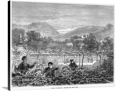Portugal, Vineyard, 1873