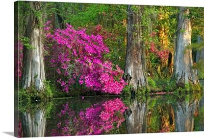 Cypress Swamp And Azalea