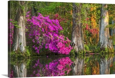 Cypress Swamp At Dawn