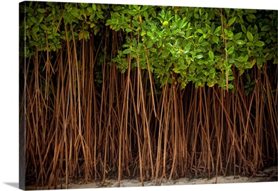A forest of trees in the sand right off the beach in the Dominican Republic