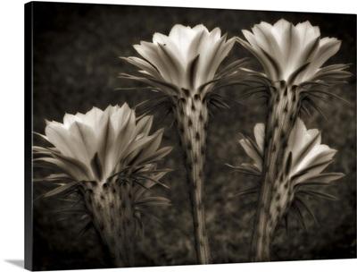 Blooming Cactaceae