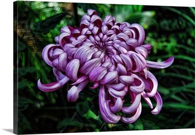 Chrysanthemum in Pink