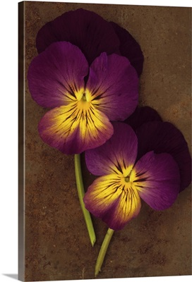 Close up of two purple mauve and yellow Pansy lying on rusty metal sheet