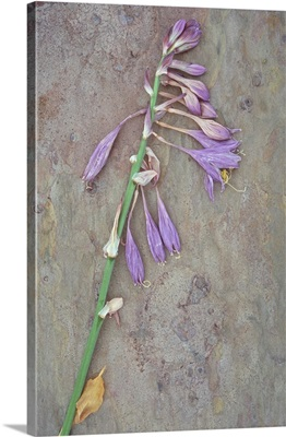 Dried stems of lilac coloured flowers of Plantain lily