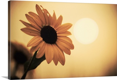 Environment: sunflower sunset landscape affected by Colorado wildfires