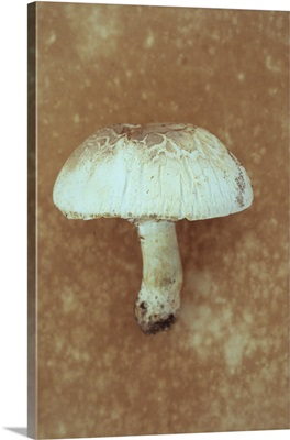 Field mushroom beginning to split with age lying on antique paper