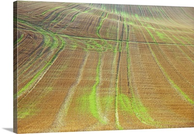 Field of golden cereal stubble crossed by tracks, Lincolnshire Wolds, England
