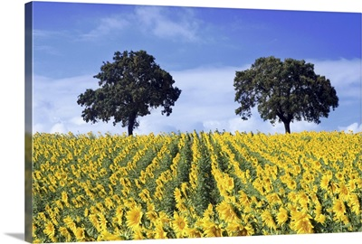 Field of sunflowers with Holm oaks