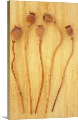 Five dried seedheads of Oriental poppy II