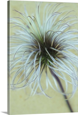 Fluffy seedhead of Clematis Frances Rivis lying on antique paper
