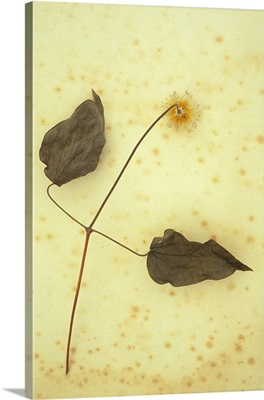 Fluffy seedhead of Clematis hybrid with two dried leaves lying on antique paper
