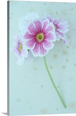 Geranium lying on antique paper