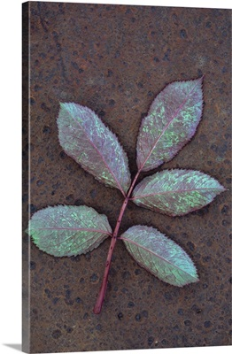 Leaf of fresh spring Rose with green and magenta markings face down on metal sheet