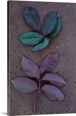 Leaves of fresh spring Rose lying face up and face down on metal sheet