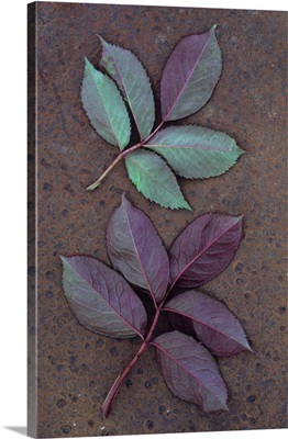 Leaves of fresh spring Rose with green and violet markings face down on metal sheet