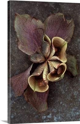 Lenten rose IV