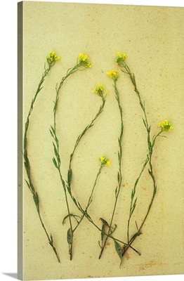 Multi-headed stem of Hedge mustard with its tiny yellow flowers on antique paper