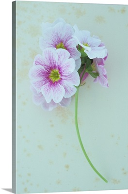 Pink and white flowers on single stem of Geranium lying on antique paper