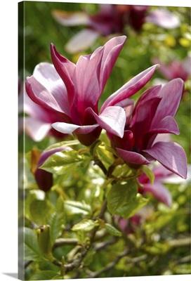 Pink Magnolia Flowers in Summer Garden
