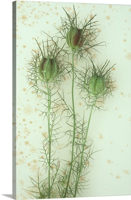Puffy seedhead and spiky foliage of a Nigella flower lying on antique paper