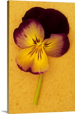 Purple mauve and yellow