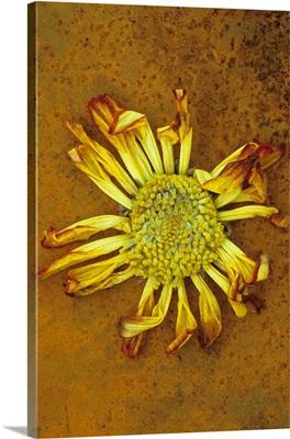 Single drying red and yellow flowerhead of Chrysanthemum lying on rusty metal sheet