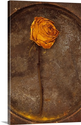 Squashed dried rose once yellow and now brown lying on tarnished metal plate