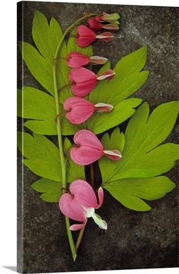 Stem of Bleeding heart Flowers Gold heart with spring fresh lime leaves on metal sheet