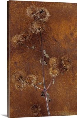 Stem of ripe Lesser burdock with hairy brown seedheads on rusty metal sheet