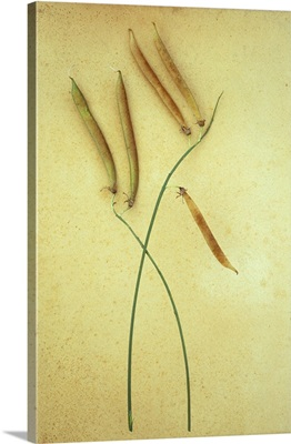Stem of ripe Sweet pea with three long brown seedheads lying on antique paper