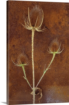 Stem of ripe Teasel with three prickly brown seedheads on rusty metal sheet