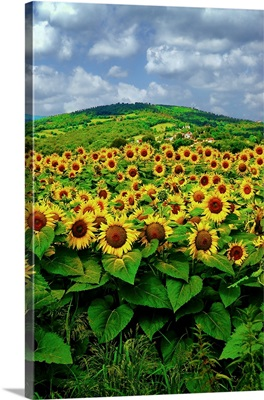 Summer Sunflowers, Italy