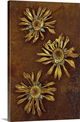Three dried flowerheads of Chrysanthemum lying on rusty metal sheet
