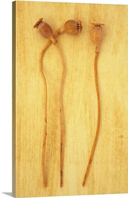 Three dried seedheads of Oriental poppy III