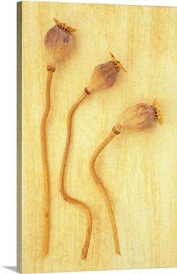 Three dried seedheads of Oriental poppy IV