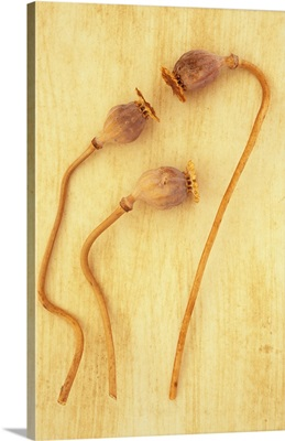 Three dried seedheads of Oriental poppy V