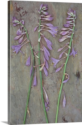Three dried stems of lilac coloured flowers of Plantain lily